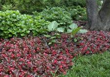 Bigleaf Hydrangia、秋海棠和细平面海绵体植物在达拉斯树木园的花床上 库存图片