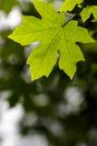 Bigleaf maple. (Acer macrophyllum) leaf against a blurred background Stock Images