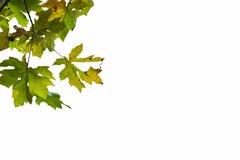 Bigleaf maple frame. Bigleaf maple (Acer macrophyllum) leaves isolated on a white background Royalty Free Stock Images