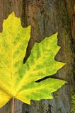 Bigleaf maple leaf Royalty Free Stock Images