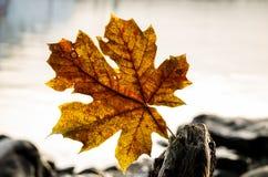 Bigleaf maple leaf Stock Images