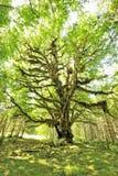 Bigleaf Maple, Quinault Rainforest Royalty Free Stock Photos