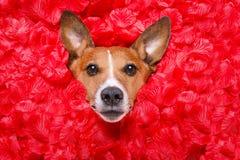 Biglietti di S. Valentino rosa di amore del cane fotografia stock libera da diritti