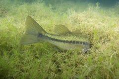 Bigmouth Bass Hiding i ogräs Arkivbild
