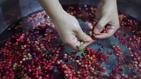 Bignay, επεξεργασία εγχώριου κρασιού bunius Antidesma που αφαιρεί τα φρούτα από το μίσχο απόθεμα βίντεο