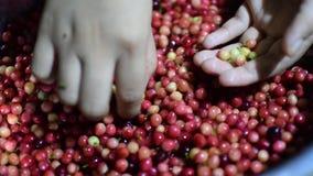 Bignay, επεξεργασία εγχώριου κρασιού bunius Antidesma που διαλέγει τα ανεπιθύμητα unripe πράσινα φρούτα απόθεμα βίντεο