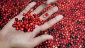 Bignay, επεξεργασία εγχώριου κρασιού bunius Antidesma που διαλέγει τα ανεπιθύμητα unripe πράσινα φρούτα φιλμ μικρού μήκους