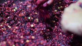 Bignay самонаводит вино обрабатывая задавливать много рук плодоовощ сток-видео