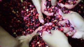 Bignay самонаводит вино обрабатывая задавливать много рук плодоовощ видеоматериал