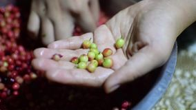 Bignay, Antidesma bunius home wine processing picking out unwanted unripe green fruit. Close up stock footage