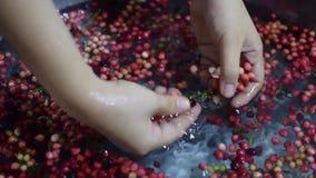 Bignay, Antidesma bunius home wine processing removing fruit from stem. Close up stock video