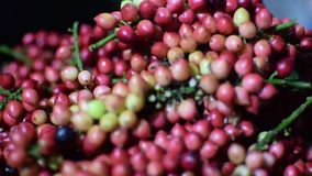 Bignay, bunius Antidesma που είναι ζυγισμένη επεξεργασία εγχώριου κρασιού απόθεμα βίντεο