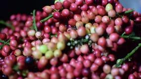 Bignay, bunius de Antidesma que es proceso casero pesado del vino almacen de video