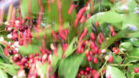 Bignay home wine processing fruits on stem shaken to rid of ants and dirt. Bignay, Antidesma bunius home wine processing fruits on stem shaken to rid of ants and stock video footage