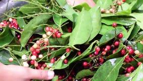 Bignay si dirige il vino che elabora i frutti sul gambo scosso per sbarazzarsi delle formiche e della sporcizia video d archivio
