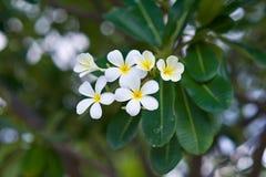 Bignonia blanco amarillo Imagenes de archivo