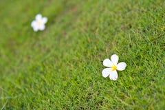 Bignonia blanco amarillo Imagen de archivo