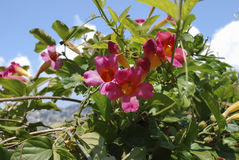 Bignonia capreolata Bignoniaceae family pink flowers blossom. Bignonia capreolata Bignoniaceae family pink flowers blossom on the blue sky background royalty free stock photo