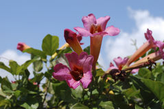 Bignonia capreolata Bignoniaceae family pink flowers blossom. Bignonia capreolata Bignoniaceae family pink flowers blossom on the blue sky background stock images