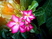 Bignonia rosa con illuminazione Fotografie Stock Libere da Diritti