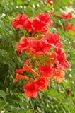 Bignoniacapreolata Royalty-vrije Stock Foto's