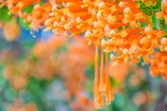 Bignoniaceae, orange Trompete, Flammenblume, Feuer-Crackerrebe, Pyrostegia-venusta Blumenanlage stockfoto