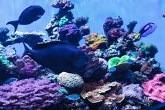 Bignose unicornfish γνωστό ως vlamingii Naso Στοκ φωτογραφία με δικαίωμα ελεύθερης χρήσης