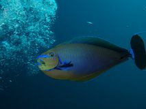 Bignose Unicornfish που χαράζει τις αεροφυσαλίδες Στοκ εικόνα με δικαίωμα ελεύθερης χρήσης