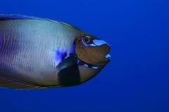 Bignose unicornfish Fotografering för Bildbyråer