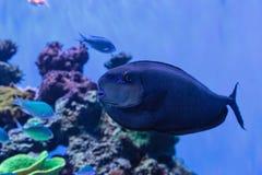 Bignose unicornfish som är bekanta som den Naso vlamingiien Arkivfoto
