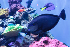Bignose unicornfish som är bekanta som den Naso vlamingiien Royaltyfria Bilder
