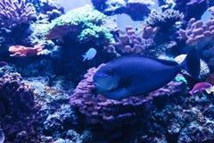 Bignose unicornfish som är bekanta som den Naso vlamingiien Fotografering för Bildbyråer