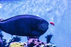 Bignose unicornfish som är bekanta som den Naso vlamingiien Royaltyfria Foton