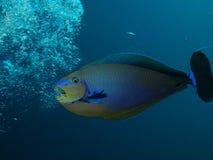 Bignose Unicornfish som jagar luftbubblor Royaltyfri Bild