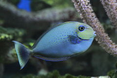bignoseunicornfish Arkivbild