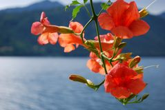 Bigonia Campsis Radicans orange flowers Royalty Free Stock Photography
