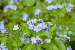 Bigorneaux fleurissant au printemps photos stock