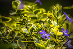 Bigorneaux violets dans un petit jardin images libres de droits