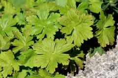 Bigroot geranium or Geranium macrorrhizum ornamental flowering plant large light green lobed palmate leaves planted next to. Bigroot geranium or Geranium stock image
