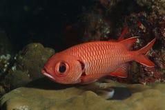 Bigscale Soldierfish, νησί Kapalai, Sabah Στοκ φωτογραφίες με δικαίωμα ελεύθερης χρήσης