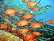 Bigscale Soldierfish Royalty-vrije Stock Afbeeldingen
