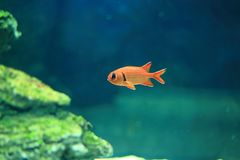Bigscale soldierfish Royalty Free Stock Photography