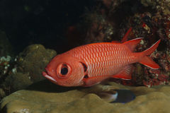Bigscale Soldierfish, Kapalai Island, Sabah Royalty Free Stock Photos