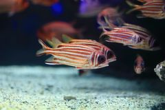 Bigscale Soldierfish Stock Images
