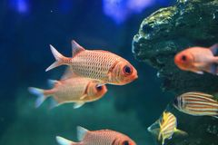 Bigscale Soldierfish Stock Image