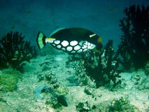 Bigspotted triggerfish Stock Photography