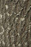 Bigtooth Aspen Bark Royalty-vrije Stock Afbeelding