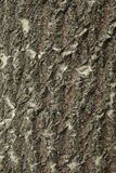 Bigtooth Aspen Bark Royalty Free Stock Image