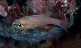 Bigtooth Cardinalfish Royalty Free Stock Images