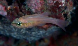 Bigtooth Cardinalfish Royalty Free Stock Images